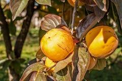 在分支的成熟亚洲柿树 库存照片