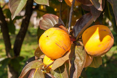 在分支的成熟亚洲柿树 库存图片
