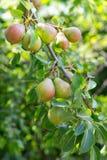 在分支的成熟和水多的梨果子 免版税图库摄影