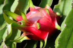 在分支的成熟果子pitahaya 免版税库存照片
