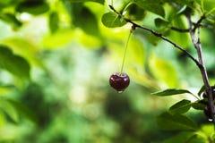 在分支的成熟樱桃在雨以后 库存照片
