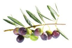在分支的成熟的橄榄。 库存图片