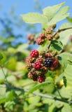 在分支的成熟的狂放的黑莓 免版税图库摄影