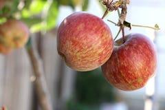 在分支的成熟的红色苹果 免版税库存图片