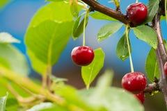 在分支的成熟红色有机欧洲酸樱桃 免版税库存照片