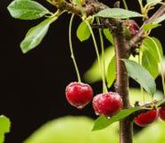 在分支的成熟红色有机欧洲酸樱桃 免版税库存图片