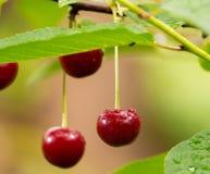 在分支的成熟红色有机欧洲酸樱桃 库存照片