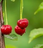 在分支的成熟红色有机欧洲酸樱桃 免版税图库摄影