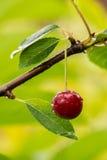 在分支的成熟红色有机欧洲酸樱桃 库存图片