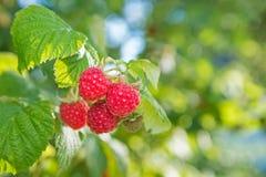 在分支的成熟莓 免版税库存照片