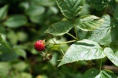 在分支的成熟莓 库存照片