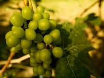 在分支的成熟葡萄 免版税图库摄影