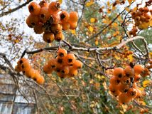 在分支的成熟黄色山楂树莓果 图库摄影