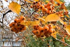 在分支的成熟黄色山楂树莓果 免版税库存图片