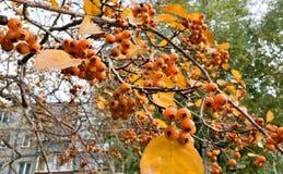 在分支的成熟黄色山楂树莓果 免版税图库摄影