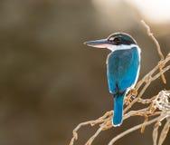 在分支的抓住衣领口的翠鸟在早晨光 免版税库存图片