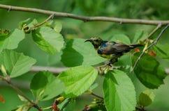 在分支的支持橄榄的Sunbird本质上 库存图片