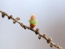 在分支的新形成的日本落叶松属锥体 免版税库存图片