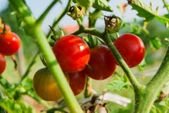 在分支的新有机蕃茄吊 库存图片