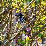 在分支的新的荷兰honeyeater鸟 库存照片