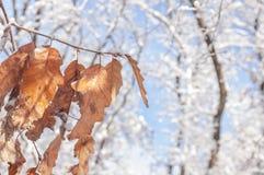 在分支的旱季叶子与雪和bokeh森林和蓝天 免版税库存图片
