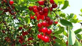 在分支的明亮的红色樱桃 库存图片