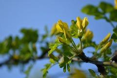 在分支的春天和绿色叶子 免版税库存照片