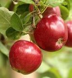 在分支的有机红色苹果 免版税库存图片