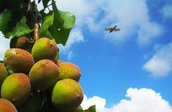 在分支的未加工的杏子在蓝天背景和迷离鸽子中 库存图片