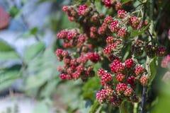 在分支的未成熟的黑莓 选择聚焦 免版税库存图片