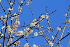 在分支的李子花有蓝天背景 库存照片