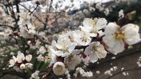 在分支的杏子花在城市公园 影视素材