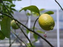 在分支的柠檬 免版税库存图片