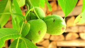 在分支的核桃 在树的坚果 未成熟的核桃 在核桃树的核桃 在树枝的富裕的核桃果子吊 股票视频