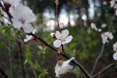 在分支的桃子开花 免版税图库摄影