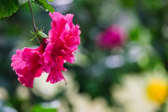 在分支的桃红色花 图库摄影