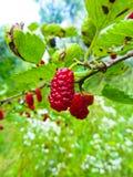 在分支的桑树莓果 免版税库存照片