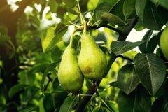 在分支的梨,未成熟的绿色梨,洋梨树,鲜美年轻梨h 免版税库存照片
