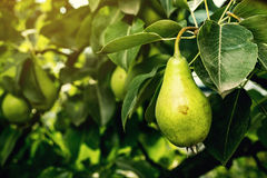 在分支的梨,未成熟的绿色梨,洋梨树,鲜美年轻梨h 图库摄影