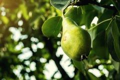 在分支的梨,未成熟的绿色梨,洋梨树,鲜美年轻梨h 免版税库存图片