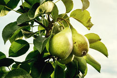 在分支的梨,未成熟的绿色梨,洋梨树,鲜美年轻梨h 库存照片