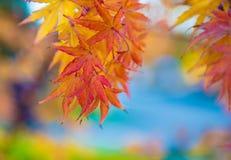 在分支的槭树叶子 库存照片