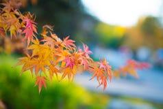 在分支的槭树叶子 图库摄影