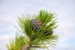 在分支的槭树叶子 免版税库存照片