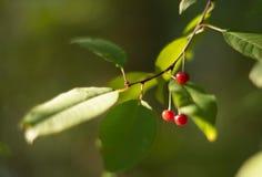在分支的樱桃莓果 库存照片