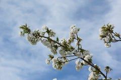 在分支的樱花在春天 免版税库存图片