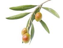 在分支的橄榄 免版税图库摄影