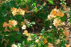 在分支的橙色花 库存图片