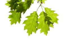 在分支的橡木叶子 免版税库存照片