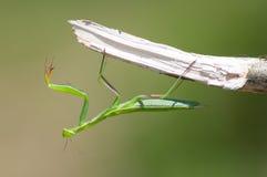 在分支的欧洲螳螂 免版税图库摄影